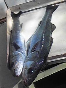 明石海峡の釣りを楽しく!情報交換の場 会長さん  今日は有難うございました。美味しくいただきます。 釣果の方は、今日もヒラメ釣れず、スズキ
