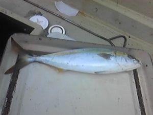 明石海峡の釣りを楽しく!情報交換の場 寒くなり餌の確保が難しくなってきました。 12月最初の釣果は、ハマチ1匹だけです。