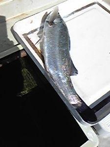 明石海峡の釣りを楽しく!情報交換の場 潮まわりが良くなってきたので釣りに出ましたが、海は予想以上に風が強くて、とても釣りづらく、仕掛けが絡