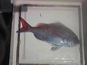 明石海峡の釣りを楽しく!情報交換の場 も~さん 肉じゃがですか。美味しそうです。 私は、今日も釣りに出ましたが、港の知り合いは3隻とも2匹