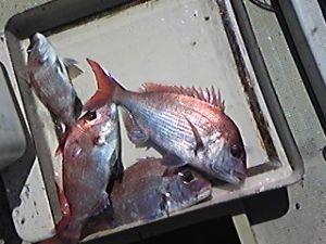 明石海峡の釣りを楽しく!情報交換の場 会長さん  久しぶりに鯛釣りに出ました。 いつものポイントに5隻の釣り船、釣れるかどうか不安でしたが