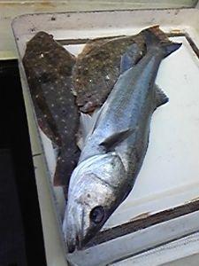 明石海峡の釣りを楽しく!情報交換の場 やっとやっとこさ複数の魚を釣ることができました。 今日は気温も上がり、気持ちの良い釣り日和でした。