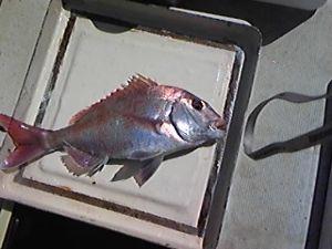 明石海峡の釣りを楽しく!情報交換の場 やっと天候が回復しましたので釣りに出ました。港の名人は4尾釣られていましたが、私は今日も1尾52㎝で