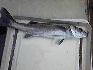明石海峡の釣りを楽しく!情報交換の場 今日も釣行しましたが、ヒラメこず。速い潮の流れの中での操船が難しいです。