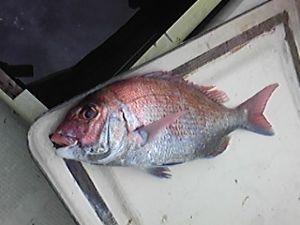 明石海峡の釣りを楽しく!情報交換の場 会長さん  金、土、日と大潮の時は鯛がよく釣れたようですが、私は用事で釣りに出れませんでした。今日は