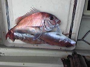 明石海峡の釣りを楽しく!情報交換の場 この前は撃沈くらいましたが、今日はやっと釣果報告ができます。 でも、釣れたと言う感じがなく、港の名人