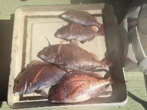明石海峡の釣りを楽しく!情報交換の場 むーさん  お疲れさま&ありがとうごさいました!  風が強いなか、むーさんの完璧な操船により、  は