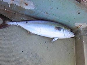 明石海峡の釣りを楽しく!情報交換の場 会長さん  昨日は、蛸が釣れているとの情報にチャレンジしたのですが、なかなか釣れず少ない釣果です。今
