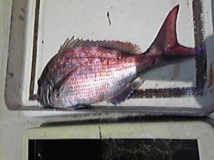 明石海峡の釣りを楽しく!情報交換の場 も~さん  今日も鯛釣りに出ました。3回アタリがありバラシ1、ハリス切れ1、44㎝1枚でした。また鯛