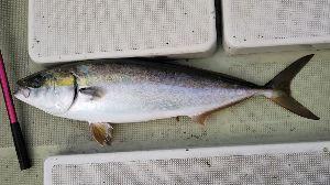 明石海峡の釣りを楽しく!情報交換の場 も~さん  私は、今日も友人と出ました。  も~さんほど大きくないけれども84㎝、今年4本目の鰤です
