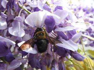 OO町の人気のない喫茶店 藤の花も咲き出し、熊蜂が飛び交う^^ 藤の香りもいいね^^