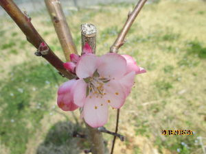 姫路のゴルファーさん、やーい! アーモンドの花が咲きました。^^  昨年5月に苗木を植えたアーモンドの木、今日見ると少しですが花を咲