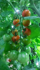3050 - DCMホールディングス(株) くろがねやで買ったミニトマトの苗もだんだん赤くなってきました❗😄