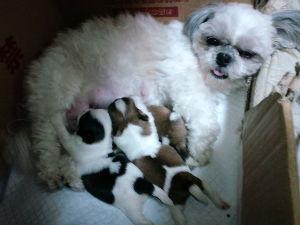 どなたか、大阪近辺で子犬を譲って頂ける方 5月15日生まれの シーズーの子犬がいます。格安で譲ります。  寝屋川です。  自宅出産した子です。