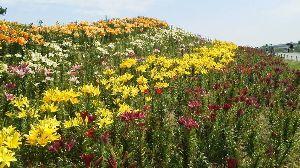 初めまして五十代です。 こんにちは~^^  今日も暑い(>_<)  シシトウの辛いのは、 栽培するときの、ストレ