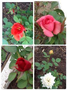 話の場所 雨は止んだけれど、 どんより鬱陶しい灰色の空です(*_*;  そんな曇空の下でも 庭の薔薇たちは綺麗