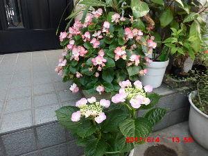 1 17845   おはようございます♪ 今日は雨になりましたね~ もうすぐ梅雨入りかな・・?  お花の