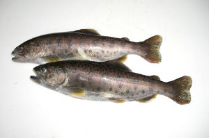 春 渓流 夏 アユ釣り 川釣り専科! この魚の名前あやめって聞いたのですが、そうですか? 調べてもアヤメカサゴが出て何処で取れたのか分かり