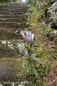 男は嫌いです 画像が間違ったわけではありません。 リンドウの花はこちらです。  江戸時代から巡礼者によって踏まれて