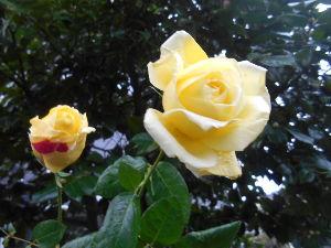 お好きなお写真をお披露目しませんか? 冬の黄色い 薔薇   可愛い 💕