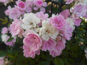 お好きなお写真をお披露目しませんか? 小さい 八重咲きの薔薇  可愛い バラです。