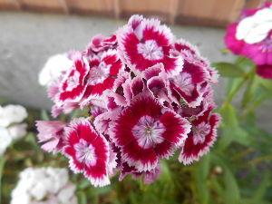 お好きなお写真をお披露目しませんか? ナデシコの花  お人形のスカート見たいに ヒラヒラがlきれいね。