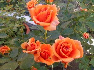 お好きなお写真をお披露目しませんか? オレンジの薔薇の花