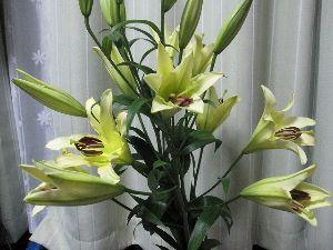 7446 - 東北化学薬品(株) 今年も黄色の百合の花束、ありがとうございました。