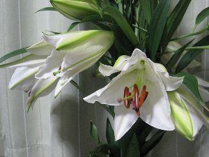 7446 - 東北化学薬品(株) 今年も大きな白い百合をありがとうございました。  http://blogs.yahoo.co.jp/