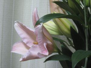 7446 - 東北化学薬品(株) 今年もまた淡いピンクの百合の花束をありがとうございました。