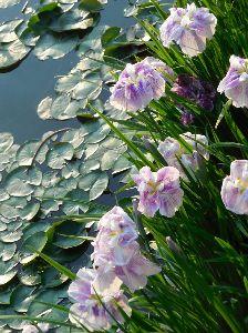 *トットトォトトロ・のチンチラ* こんばんは、みなさん。   今日は毛色を変えて、法華経寺  ・・・・龍池ですが、花菖蒲が最盛です・。