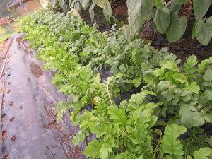 ●●熟女の方ご一読を●● ケイトさん 今晩は 今日は昼から雨が降って来ました 白菜、キャベツ、大根の写真送ります ms
