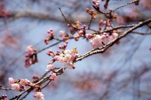 気まぐれな呟き 今年は暖冬ですな 例年より 最低気温が2~3度高いと思う (地域差がありますが)  桜の花も関東では