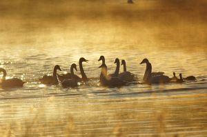 気まぐれな呟き 冬に越冬の為に 日本に渡ってきた コハクチョウは 黄金色の朝陽を浴びて 語らいのひと時のようだ。