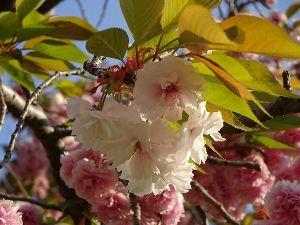 西部中4組「りんどうの会」集まれ! サイタサイタサクラガサイタ(2)  八重桜も咲いて、そして散って行きつつある。 もうすぐ風薫る五月。