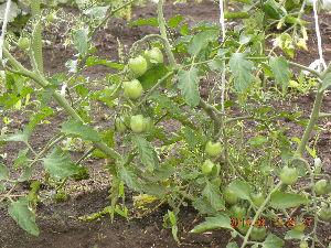 毎日のんびりいきますか 趣味の園芸と言う程では無いですがミニトマトが何個か食べられそうですo^∇^o  ナス キ