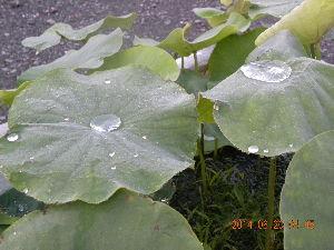 毎日のんびりいきますか 昨夜の雨がハスの葉に銀の球 何となく心惹かれる朝のひと時