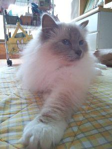 バーマン猫と暮らしている人へ ★バーマン猫さん お久しぶりです。 というか、お久しぶりに書き込んでくださったのに、反応も遅くてスミ