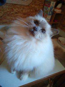 バーマン猫と暮らしている人へ ★miyaさん  ゆうりくん、ちゃんと「憂いのある美形さん」に見えますよう〜(^^) うちのは、パー