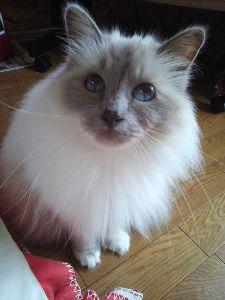 バーマン猫と暮らしている人へ バーマン猫さん  日本は、梅雨本番なり蒸し暑い毎日です。 パールの被毛も湿気でポヨポヨした感じになっ