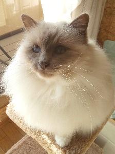 バーマン猫と暮らしている人へ ★miyaさん カメレスでごめんなさい。  ゆうりくんの他にも何頭かにゃんこが一緒に暮らしているとお