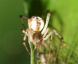 クモ類の部屋 だれかなぁ、 ちょっと名前忘れた。  クモのシーズンだ。ジョロウグモの幼体があちこちで沢山見られるよ