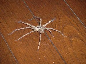 クモ類の部屋 家の中に大きな蜘蛛が現れました。 名前を知っている人は教えてください。あまり凶暴な感じはしません。