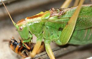 クモ類の部屋 なんとスズメバチ とげのある前足でがっちりと抑え込んで