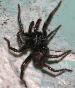 クモ類の部屋 バスタブに落ちていた。 ワシグモの仲間だと思うんだけど、同定できない。