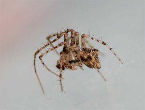 クモ類の部屋 センショウグモ クモを襲うクモ。足のとげは獲物を抱え込むため、だそうだ。