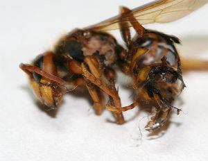 クモ類の部屋 食べられた八の残骸。