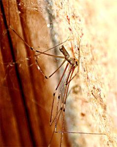 クモ類の部屋 イエユウレイグモ ♀8~10mm 屋内にいるクモ。大きな不規則網をつくる。危険を感じると体を激しく揺