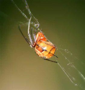 クモ類の部屋 カグヤヒメグモ 5mm