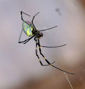 クモ類の部屋 ジョロウグモ 成体 ♀  残念ながら、トピ全体は12月でなくなってしまう、と言うことはこのトピも消え